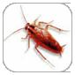 disinfestazione scarafaggi blatta germanica